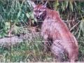 Florida Panther Photo Tile Mural